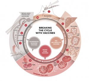 Malaria Breaking Cycle With Vaccines